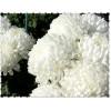 """Пигмент """"Белая хризантема"""" MixCosmetic белый с белым сиянием 7104."""