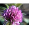 """Пигмент """"Цветы клевера"""" MixCosmetic белый с фиолетовым сатин 7223."""